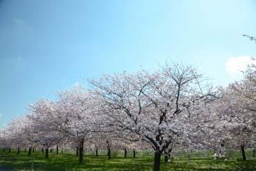 千曲川堤防樱堤(长野)