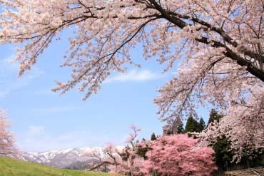 Hành lang hoa anh đào okitama
