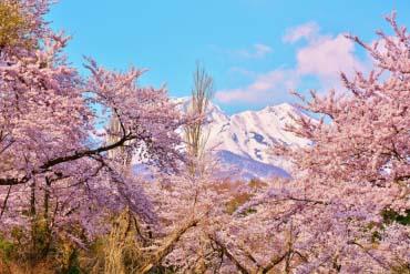 松ヶ峯の桜(新潟)