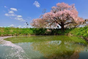 Cây hoa anh đào ở Asai(Fukuoka / Hakata)