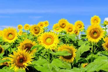 Sunflowers in Tsunan Town(Niigata)