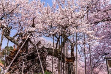Jindai Cherry Blossom Tree in Yamataka