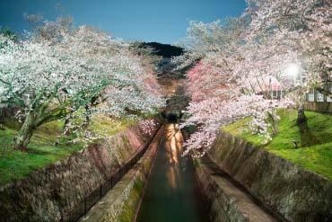 Cherry trees of Lake Biwa Canal(Shiga & Lake Biwa )