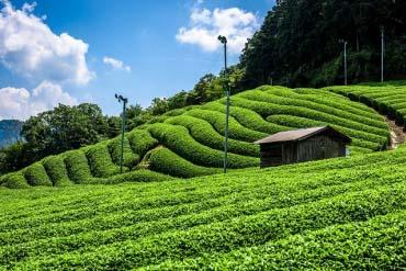 Tea plantations (Kyoto)