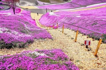 Công viên hoa anh đào Higashimokoto
