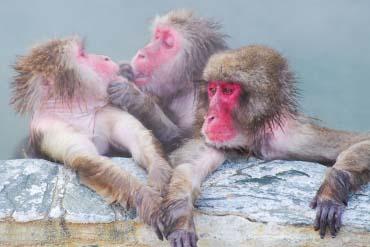 Suối nước nóng núi khỉ Hakodate
