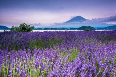 Kawaguchiko Oishi Park(Mt. Fuji)