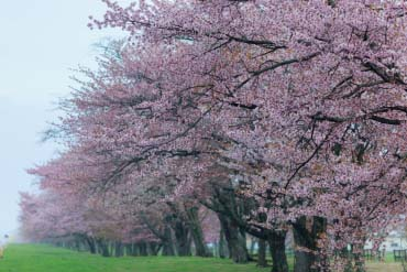 Nijukken Road Cherry Blossom Trees