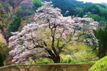 駒つなぎの桜(長野)