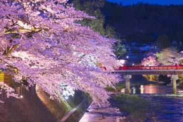 Dãy hoa anh đào ở Miyagawa