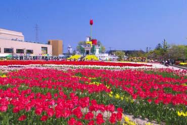 砺波郁金香公园