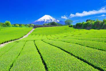 茶田与富士山