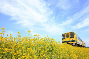 夷隅铁道 油菜花列车