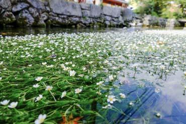 Hoa Baikamo ở Samegai