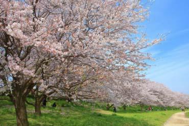 Gongendo Sakura Tsutsumi(Saitama)