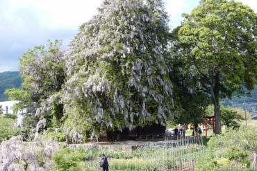 深山神社的大榧樹・大紫藤