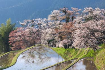 Cherry Blossoms in Mitake