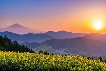 Ruộng chè và núi Phú Sĩ(Fuji san)