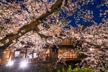 Cherry trees of Gion Shirakawa(Kyoto)