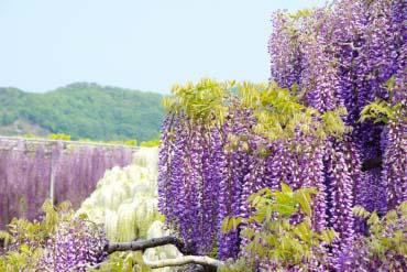 Ashikaga Flower Park(Tochigi)
