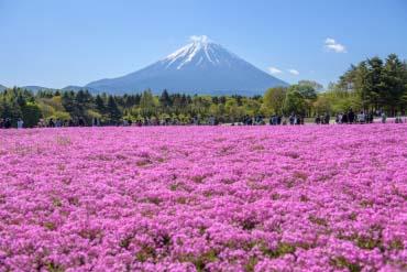 Lễ hội hoa Fuji Shibazakura(Fuji san)