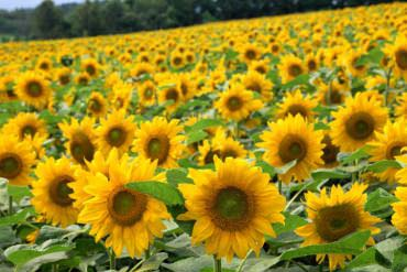Sunflowers in Hokuryu Town(Other Areas of Hokkaido)