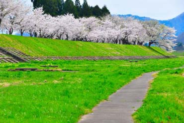 Row of cherry blossom trees of Hinokinai river(Akita)