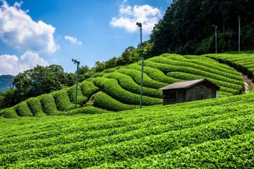 Tea plantations (Kyoto)