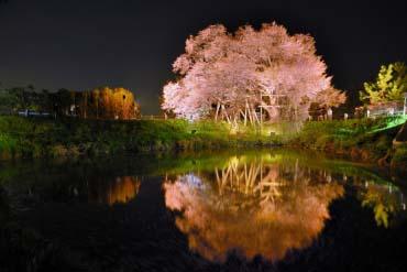 Pohon Sakura di Asai