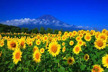 花之都公園(富士山)