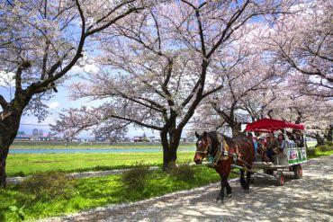 Kitakami Tenshochi Cherry Blossom Festival(Iwate)