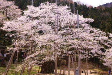 Usuzumi-zakura Cherry Tree