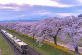 Cherry Blossoms at Shiraishi River