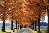 Con đường Thông thủy sam (Metasequoia)