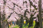 Cherry Blossoms at Kumagaya Sakura Tsutsumi