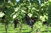 Kikyogahara Wineries