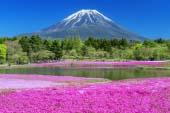 富士芝櫻花祭