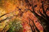 Fujikawaguchiko Autumn Leaves Festival