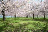 Hoa anh đào Sakurazutsumi bên dòng sông Chikuma