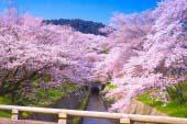 琵琶湖疏水 櫻
