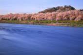 檜木內川櫻花道
