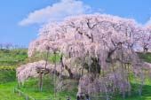 Cây hoa anh đào Miharu