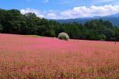 红荞麦故里