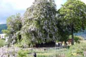 A big torreya and a large wisteria of the Shinzan Jinja Shrine