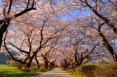 Kitakami Tenshochi Cherry Blossom Festival