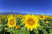 Cánh đồng hoa hướng dương ở Akeno