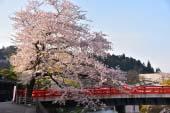 Row of Cherry Trees(Takashima City)