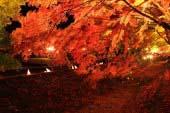 富士河口湖红叶节