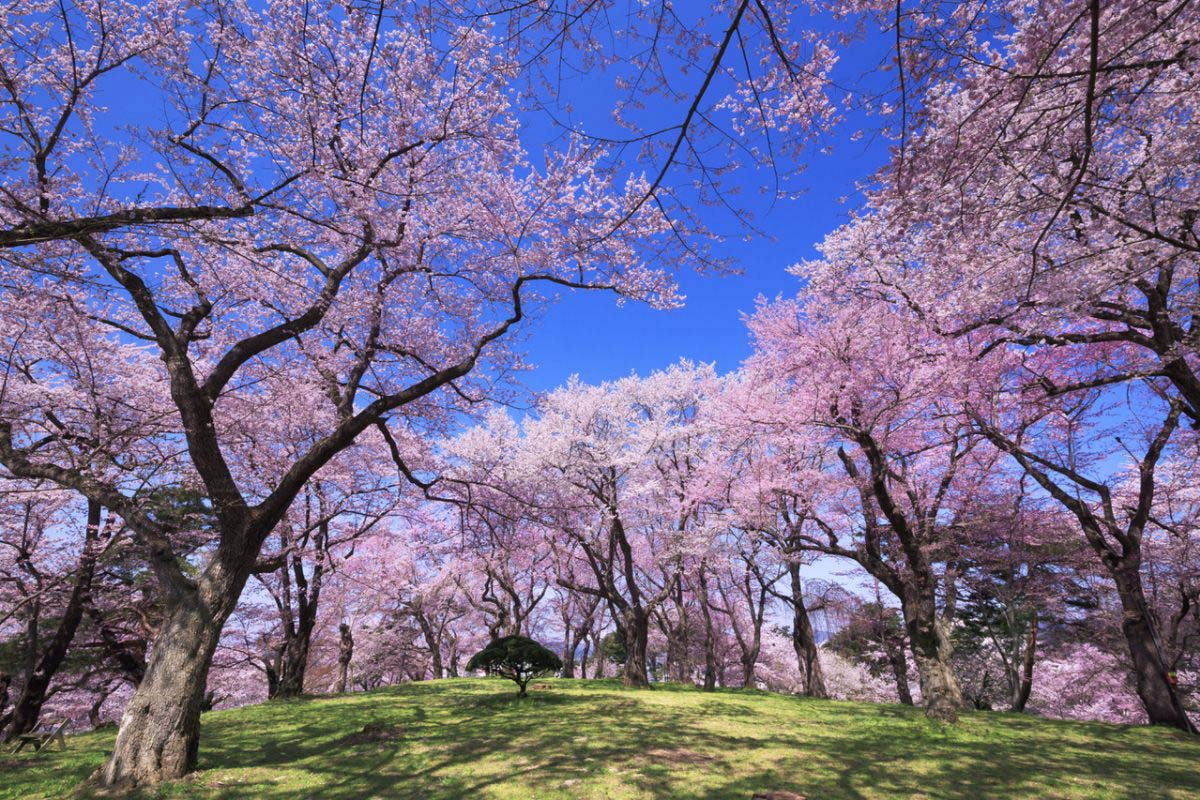 Okitama Cherry Blossom Corridor